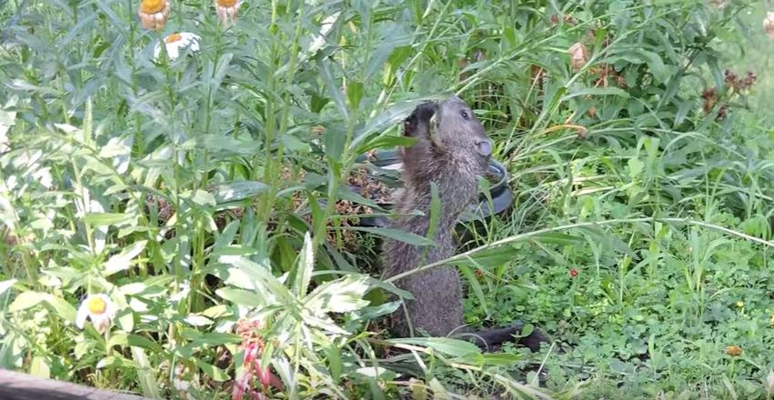 How To Keep Groundhogs Out Of My Garden