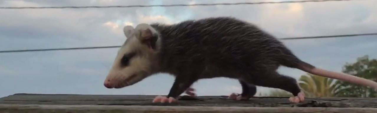 How to get rid of opossums without killing them