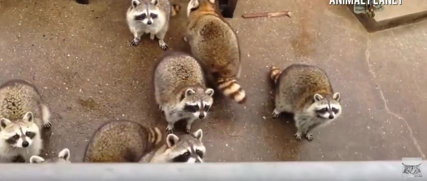 What is a raccoon's mating habits?