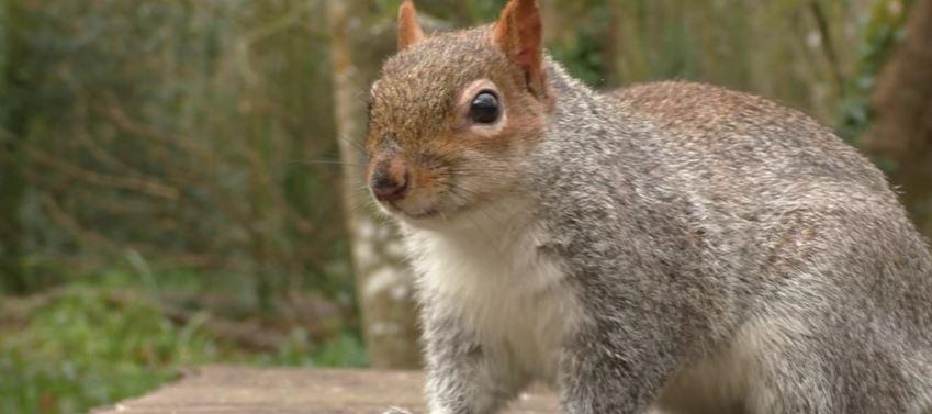 Do squirrels kill mice, rats, or birds?